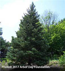 concolor fir tree hardiness
