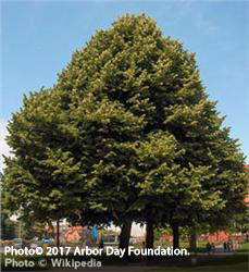 silver linden tree hardiness